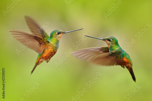 Obraz na plátně Hummingbirds with long golden tail, beautiful action flight scene with open wings, clear green backgroud, Chicaque Natural Park, Colombia
