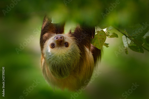Sloth in nature habitat Canvas Print