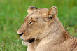 lion mammal of the kruger national park reserves and parks of south africa