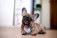 French Bulldog Puppy In Nature