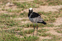 Blacksmith Plover Bird Of The Kruger National Park Reserves And Parks Of South Africa
