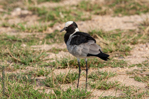 blacksmith plover bird of the kruger national park reserves and parks of south a Canvas Print