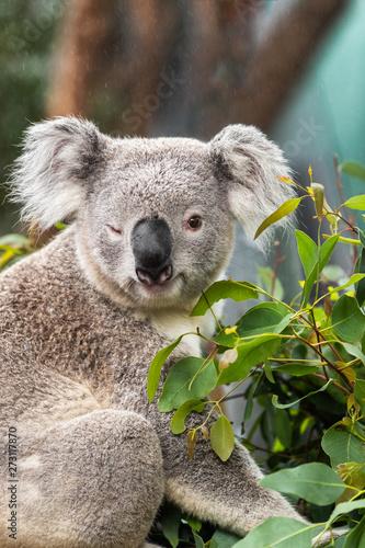 Photo Stands Koala Funny koala animal winking blinking cute wink at camera at Sydney Zoo in Australia. Australia wildlife animals.