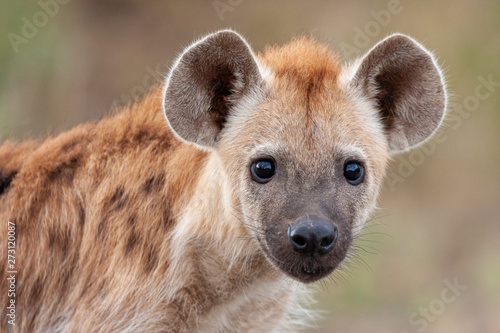 hyena mammal of the national park reserves and parks of south africa Canvas Print