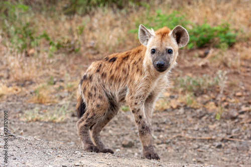 hyena mammal of the national park reserves and parks of south africa Wallpaper Mural