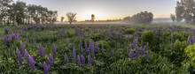 Twilight On A Field Covered With Flowering Lupines In Summer Morning With Fog. Panorama.