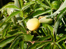 (Passiflora Caerulea) Fruit No...