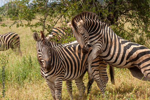 Photo zebras national park reserves and parks of south africa