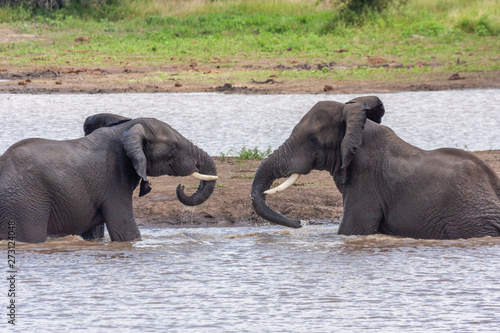 mammal elephant of the national park reserves and parks of south africa Wallpaper Mural