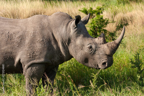Photo rhinoceros mammal of the national park reserves and parks of south africa