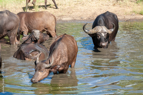 buffalo mammal of the kruger national park reserves and parks of south africa Wallpaper Mural