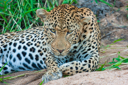 leopard mammal of the kruger national park reserves and parks of south africa Wallpaper Mural