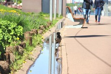 Crow Near The Puddle, Selectiv...