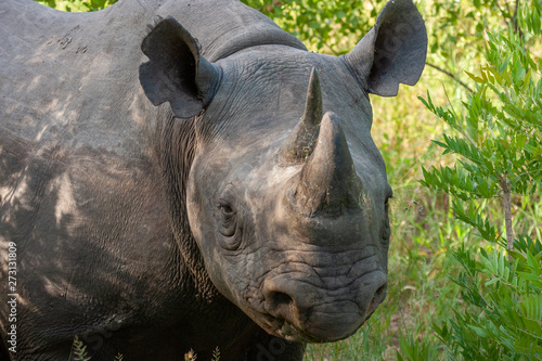 predatory rhino national park reserves and parks of south africa Wallpaper Mural