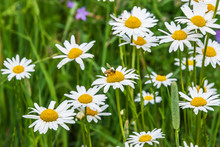 Wild Daisies Growing In A Meadow In Rural Latvia In Summer With A Bee