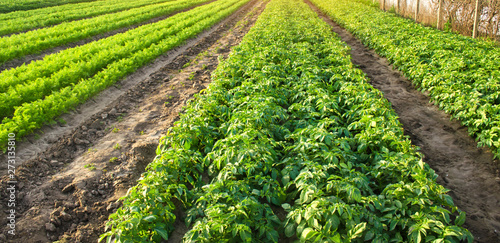 Foto auf Gartenposter Lime grun Agricultural landscape with vegetable plantations. Growing organic vegetables in the field. Farm agriculture. Potatoes and carrot. Farming. Selective focus
