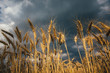 Landscape of wheat field at sunset after rain.