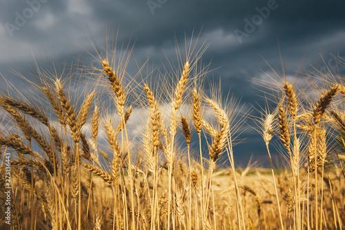 Montage in der Fensternische Honig Landscape of wheat field at sunset after rain.