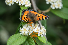 Small Tortoiseshell Butterfly On Cotoneaster Flowers In Springtime