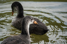 Young Eurasian Coots In Pond I...