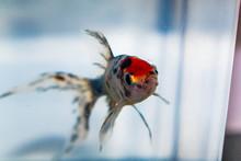 Shubunkin In Aquarium