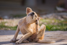 Brown Dog Scratching Itself, S...