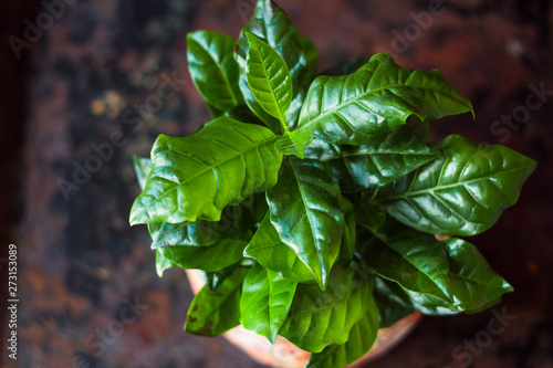 Photo Coffea arabica - coffee plant in a flower pot.