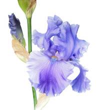 Blue Iris Flower Close-up Isolated On White Background. Cultivar With Ruffled Flower From Tall Bearded (TB) Iris Garden Group