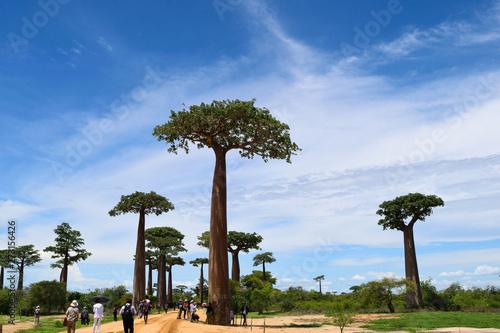 Poster Baobab バオバブ街道