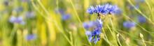 Blühendes Kornblumenfeld Als Panorma Für Hintergrund