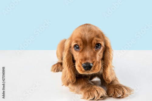 Looking so sweet and full of hope. English cocker spaniel young dog is posing. Cute playful braun doggy or pet is lying isolated on blue background. Concept of motion, action, movement.