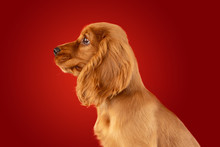 Perfect Companion On The Way. English Cocker Spaniel Young Dog Is Posing. Cute Playful Braun Doggy Or Pet Is Sitting Full Of Attention Isolated On Red Background. Concept Of Motion, Action, Movement.