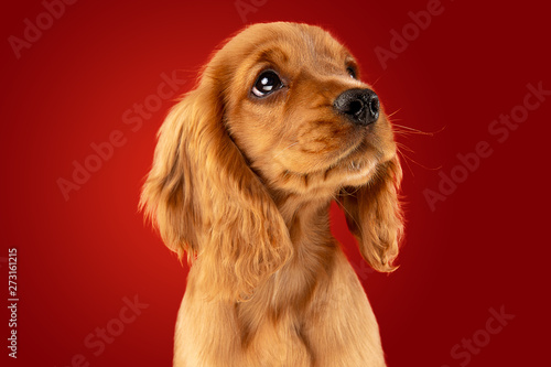 Poster Chien Perfect companion on the way. English cocker spaniel young dog is posing. Cute playful braun doggy or pet is sitting full of attention isolated on red background. Concept of motion, action, movement.