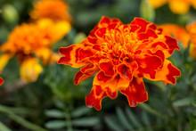 Velvet Flowers. Orange Garden ...