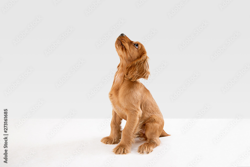 Fototapety, obrazy: Pure youth crazy. English cocker spaniel young dog is posing. Cute playful white-braun doggy or pet is playing and looking happy isolated on white background. Concept of motion, action, movement.