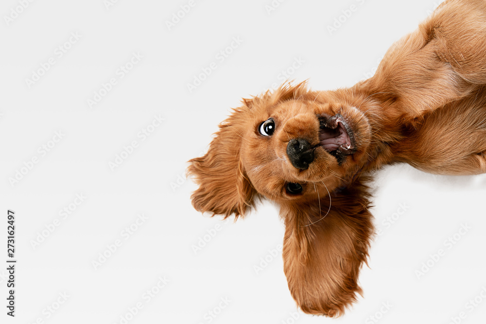 Fototapeta Pure youth crazy. English cocker spaniel young dog is posing. Cute playful white-braun doggy or pet is playing and looking happy isolated on white background. Concept of motion, action, movement.