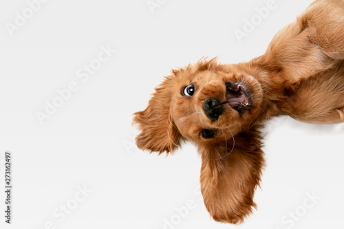 Pure youth crazy. English cocker spaniel young dog is posing. Cute playful white-braun doggy or pet is playing and looking happy isolated on white background. Concept of motion, action, movement.