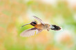 A Little Hermit hummingbird hovering with an unfocused floral background.
