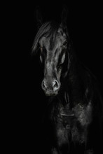 Portrait Of A Black Horse On The Black Background