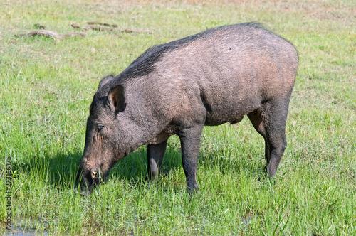 Canvas-taulu Wild boar in a national Park of Sri Lanka
