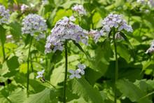 Lunaria Rediviva Flowering Med...