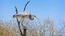 Grey Heron Perched On A Tree Near The Mara River, Kenya