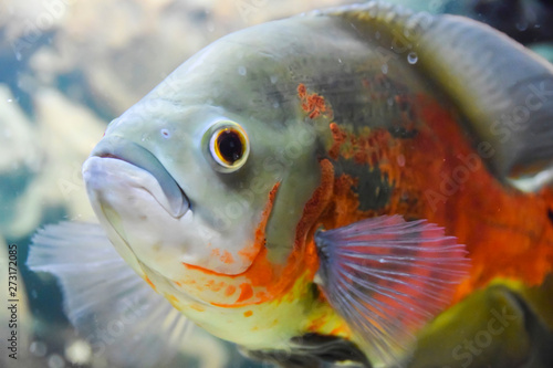 Photo  Red-Bellied Piranha with red scales swims underwater