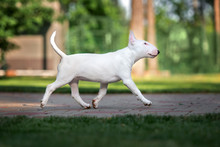 English Bull Terrier Puppy Walking Outdoors