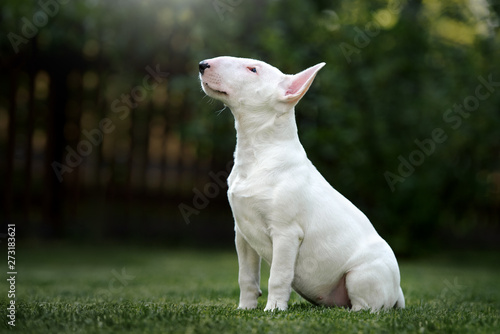 Fotografiet bull terrier puppy sitting outdoors