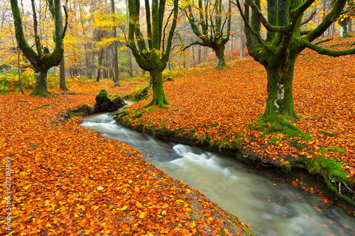 European Beech or Common Beech Forest, Gorbeia Natural Park, Basque Country, Spain, Europe Bosque de Hayas en otoño, Parque Natural del Gorbeia, Bizkaia - Alava, Pais Vasco, España