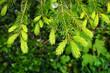canvas print picture - Fichte, Fichtentriebe, picea abies, spruce shoots