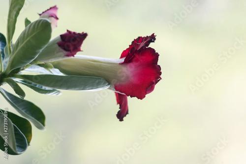 Fényképezés  Photo gentle beautiful red flower, petals, macro, close-up