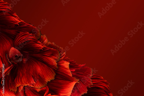 Valokuva Concept red background of red half moon long tail Betta Fighting with clipping path