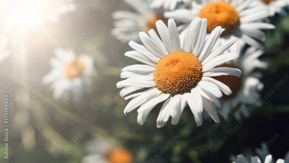 Fototapeta Close-up of daisy flowers in the gentle rays of the warm sun in the garden. Summer, spring concepts. Beautiful nature background. Macro view of abstract nature texture. Template for design. Soft focus